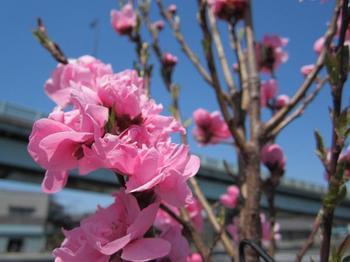 桃色のお花.JPG